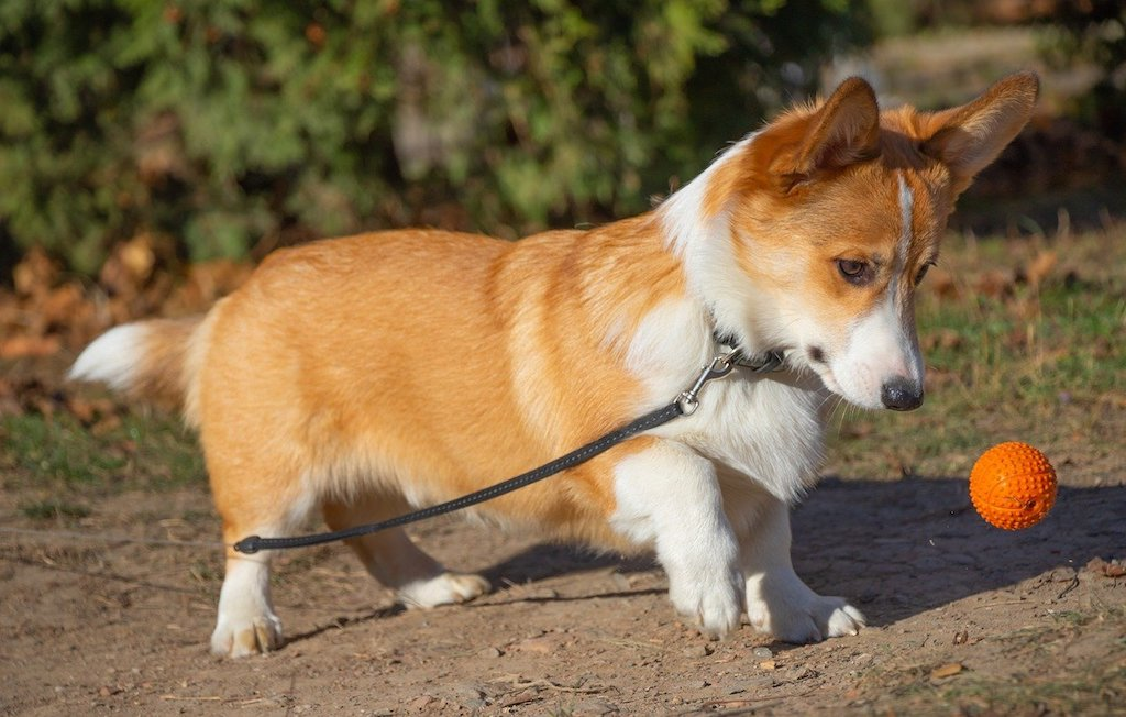 pembroke welsh corgi dog playing with a ball