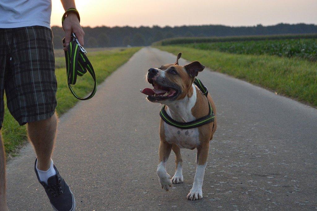 pitbull dog walking with a man