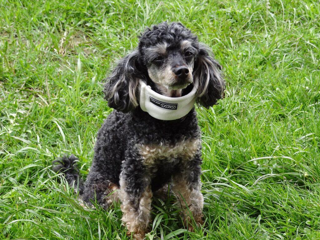 poodle with a neck brace