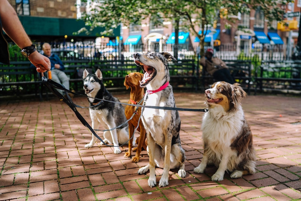 professional dog walker in the city