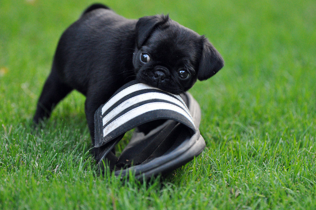 dog proofing your home - puppy chewing on a shoe
