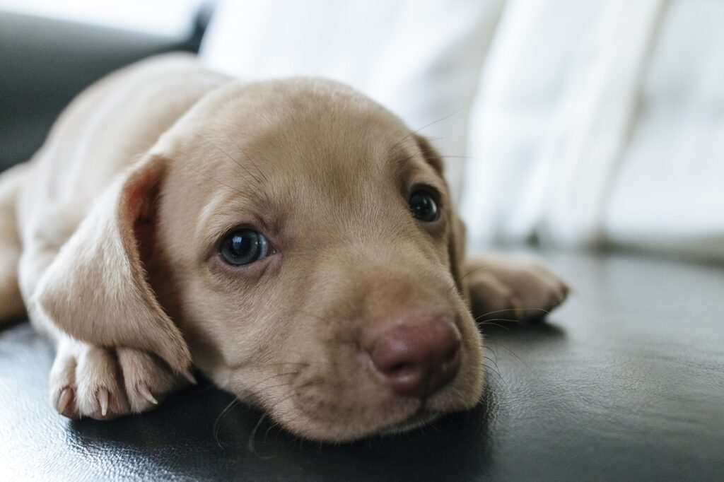 puppy on the couch