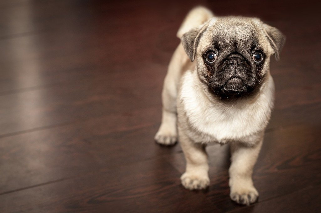 puppy pug dog - How to Socialize Your Puppy With Humans and Other Dogs