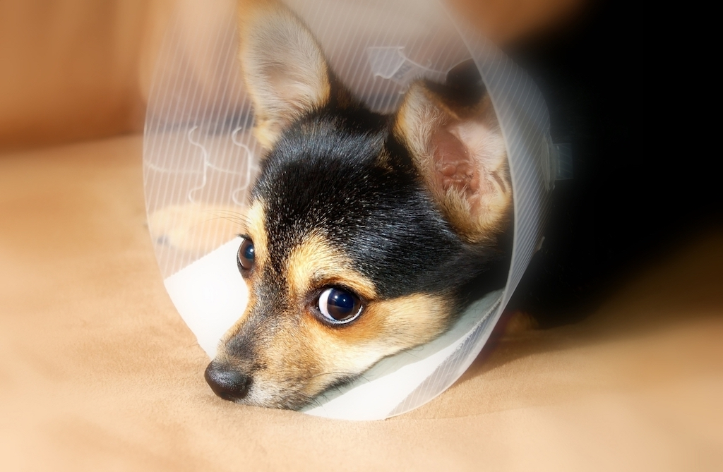 puppy recovering after hernia surgery at the vet veterinarian