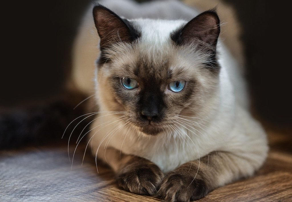 The Best Cat Breeds for Children and Babies - Ragdoll cat