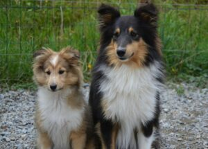 shetland sheepdog - sheltie - dog breed - adult dog and a puppy