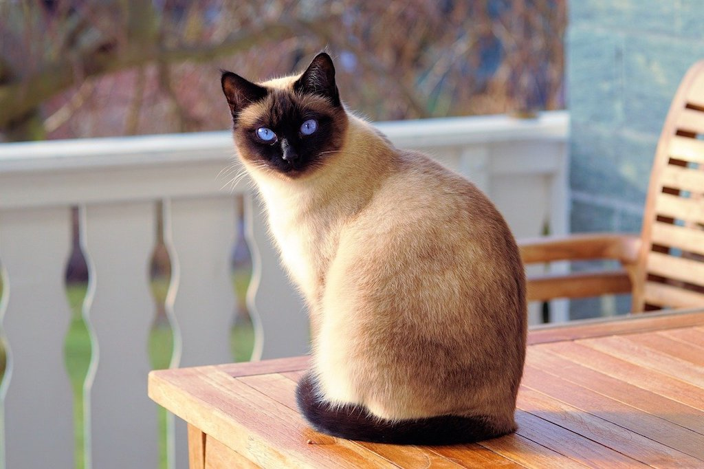 The Best Cat Breeds for Children and Babies - siamese cat breed