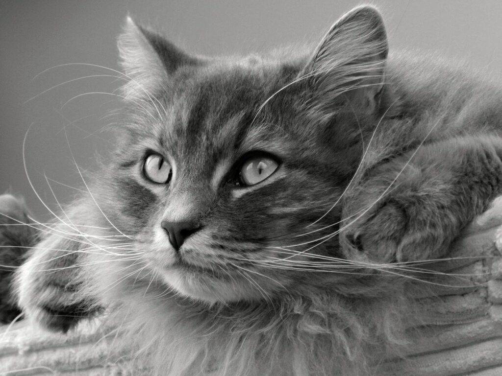 siberian tomcat cat