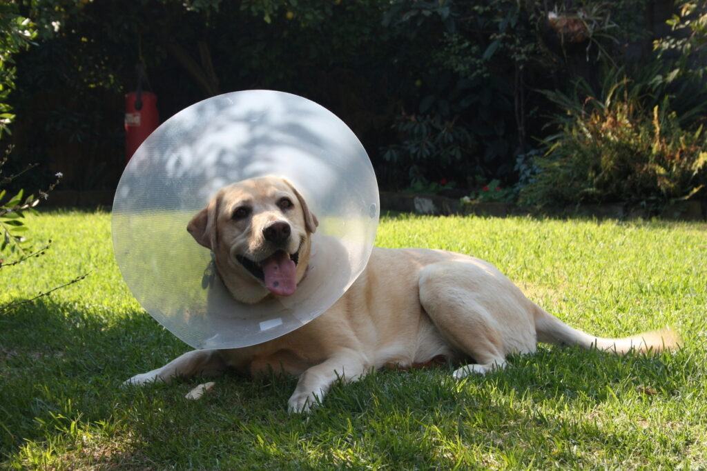sick dog with a neck cone