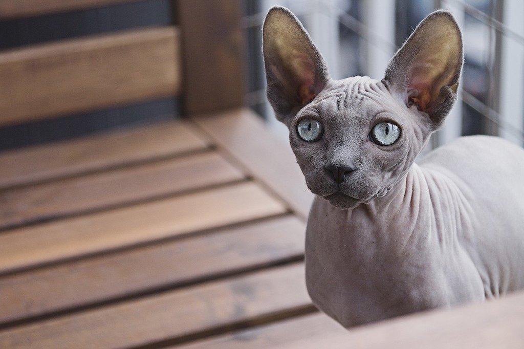 healthiest cat breeds - sphynx cat
