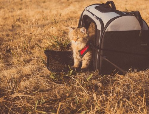 Traveling with Cats – What You Need to Make It Go Smoothly