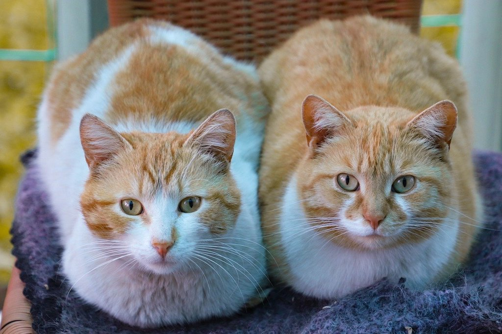 two cats - the benefits of getting a second cat