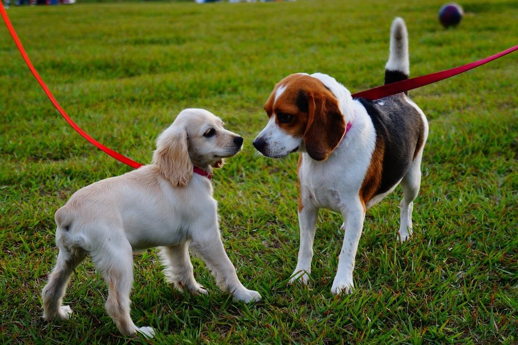 two dogs meeting each other during a dog walk