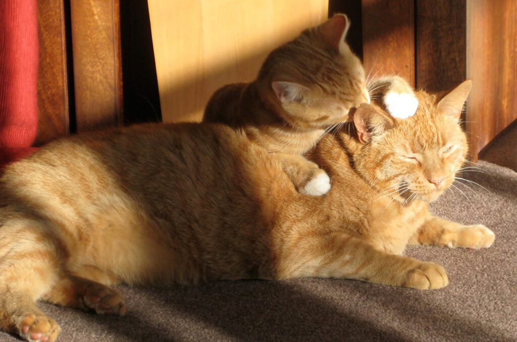 two ginger cats baby licking the mother