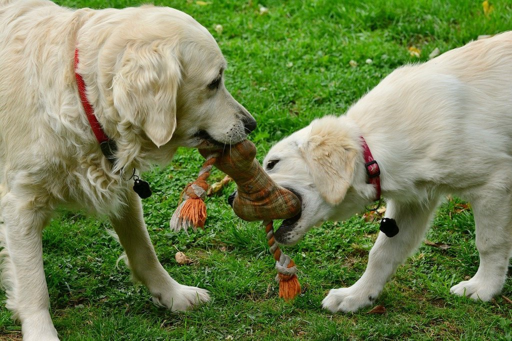 two golden retriever dogs playing