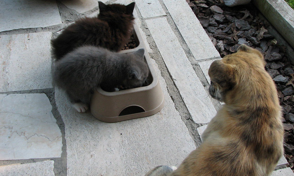 two kittens and a dog eating food