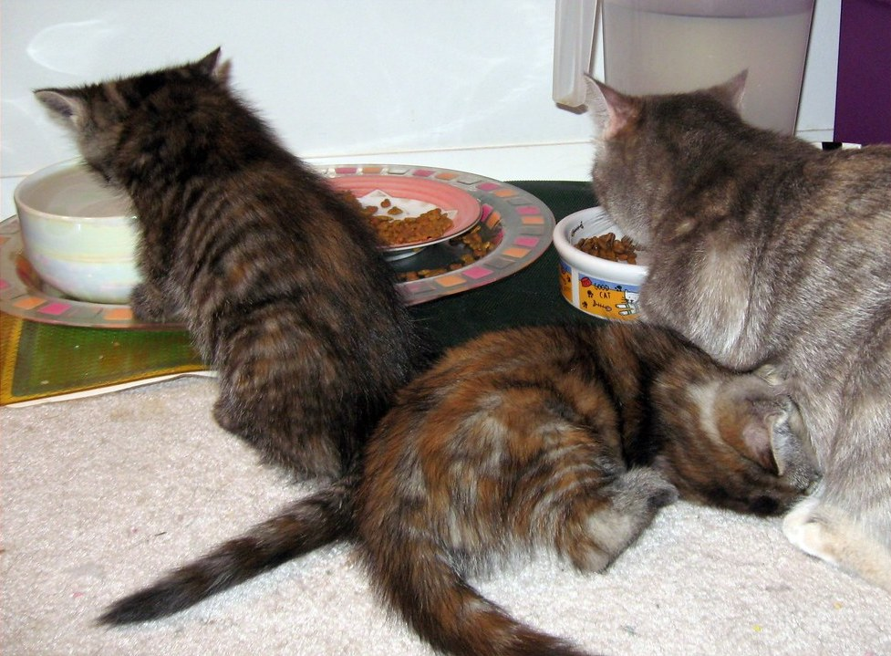 two kittens and a mother cat eating food