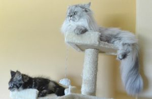 two persian cats on a cat tower