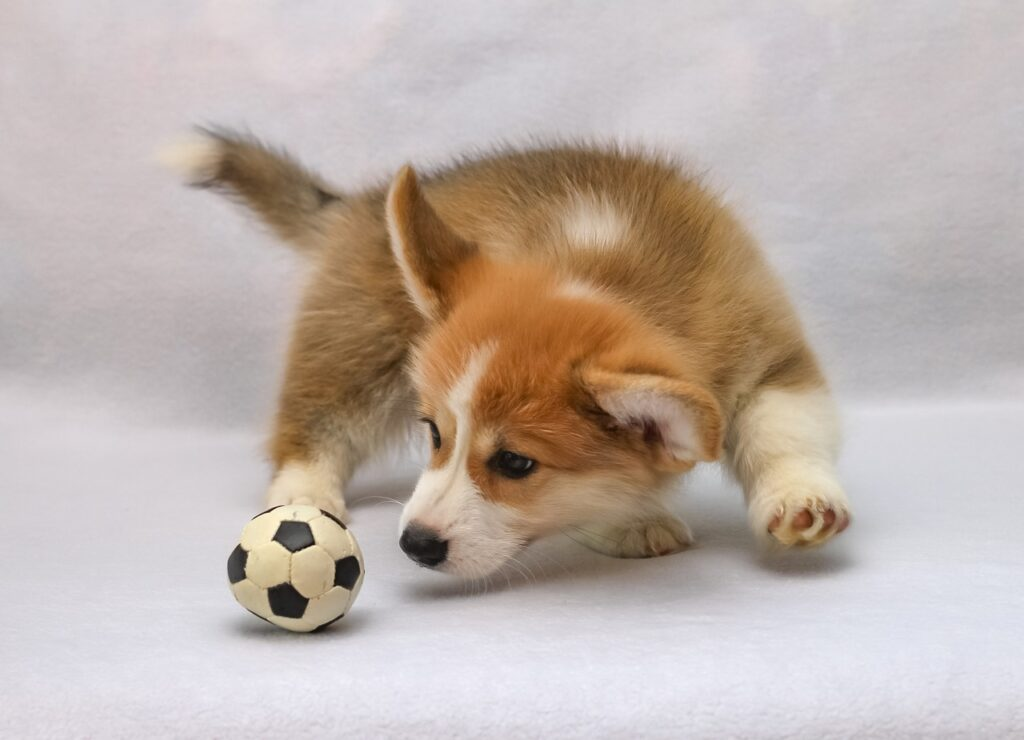 welsh corgi puppy playing with a ball