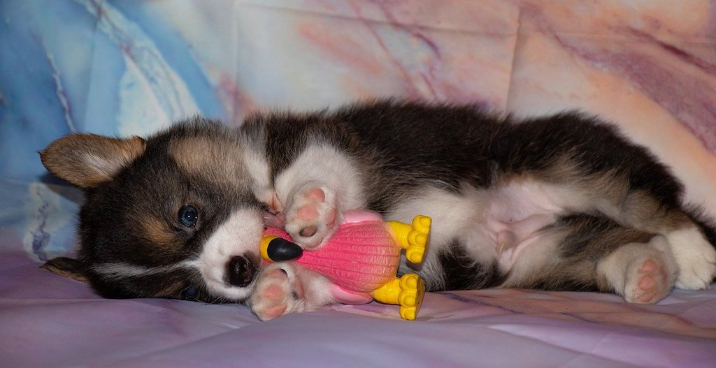 welsh corgi puppy with a toy