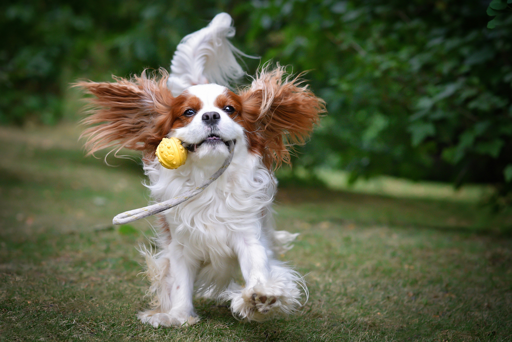 White and brown cavalier king charles running while biting rattl