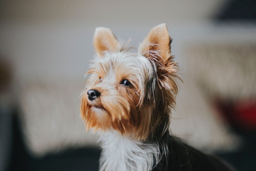 yorkshire terrier dog yorkie